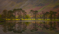Buttermere Pines.